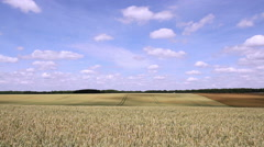 Wheat field in anticipation of maturation. - stock footage