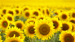 Sunflower field, backlit - stock footage