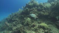 Hawksbill turtle (Eretmochelys imbricata), Roatan Island, Honduras Stock Footage
