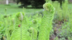 Closeup of fern leaves and buds with red bug move in wind Stock Footage