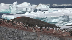 Adelie penguin (Pygoscelis adeliae) wide colony, Antarctica Stock Footage
