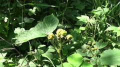 Young green wild raspberry bushes Stock Footage