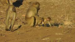 Baby yellow baboon runs to its mother for a cuddle Stock Footage