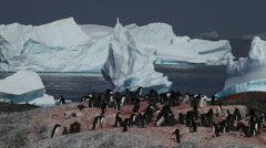 Adelie penguins (Pygoscelis adeliae) with ice bergs in background Stock Footage
