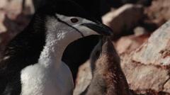 Chinstrap penguin (Pygoscelis antarcticus) Stock Footage