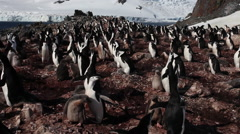Chinstrap penguin (Pygoscelis antarcticus) Stock Footage
