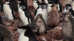 Chinstrap penguin (Pygoscelis antarcticus) chicks in colony, Antarctica Stock Footage