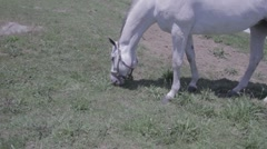 Horse grazing - handheld, natural light, medium shot Stock Footage