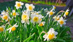 spring time: lush blooming daffodils - stock photo