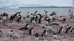 Gentoo penguin (Pygoscelis papua) colony, move left and back, Antarctica Stock Footage