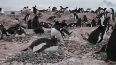 Gentoo penguin (Pygoscelis papua) adult lying down, Antarctica Stock Footage
