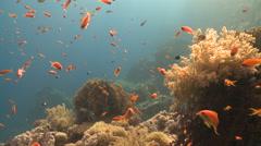 Coral goldfish/Anthias (Pseudanthias squamipinnis) around coral outcrop Stock Footage
