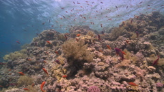 Coral goldfish/Anthias (Pseudanthias squamipinnis) around coral outcrop Stock Footage