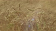 Stock Video Footage of golden ears of wheat grain ripening in the summer sun