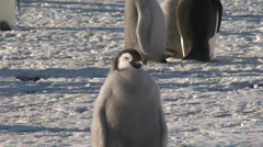 Stock Video Footage of Emperor penguin (Aptenodytes forsteri), chick, basking in sun, Cape Washington