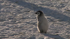 Emperor penguin (Aptenodytes forsteri), Cape Washington Stock Footage