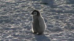 Emperor penguin (Aptenodytes forsteri), Cape Washington Stock Footage
