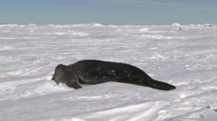 Weddell seal (Leptonychotes weddellii) and pup on snow, Cape Washington - stock footage