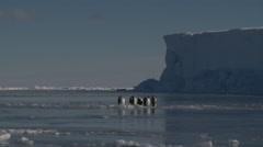 Emperor penguins (Aptenodytes forsteri) preening on sea ice, Cape Washington Stock Footage