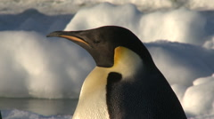 Emperor penguins (Aptenodytes forsteri) portrait, Cape Washington, Antarctica Stock Footage