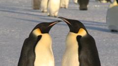 Emperor penguins (Aptenodytes forsteri), adults display, Cape Washington Stock Footage