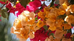 Bougainvillea Tree, close up, Africa, Senegal Stock Footage