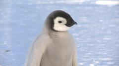 Emperor penguin (Aptenodytes forsteri), chick at colony, Cape Washington Stock Footage