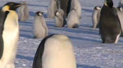 Emperor penguins (Aptenodytes forsteri), adult in colony preens, Cape Washington Stock Footage