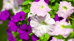 Pink and purple petunias in park Stock Footage
