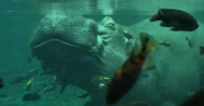 Stock Video Footage of 1878 Hippopotamus Coming up for Air Under the Water with Fish Swimming, 4K