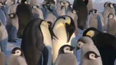 Emperor penguins (Aptenodytes forsteri), adult pair display, Cape Washington Stock Footage