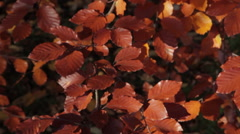 Baslow, Autumn Leaves, Peak District National Park, Derbyshire, England Stock Footage