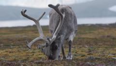 Arctic reindeer - stock footage