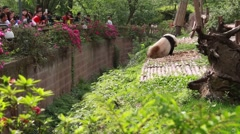 chinese at giant panda breeding research center in chengdu - stock footage