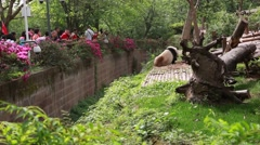 chinese at the giant panda breeding research center in chengdu - stock footage