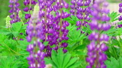 Bright purple lupines in a medow. Rack focus. Stock Footage