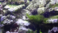 Stock Video Footage of 4K Two Sea Urchins Diadema sp eating algae in coral reef