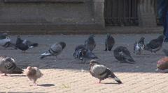 Closeup pigeons on sidewalk, man feet moving among them, domesticated birds - stock footage