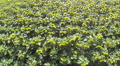 Beautiful  slow  flight over summer  sunflowers. Aerial  top view Footage