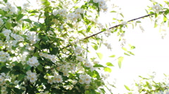 Sun shining through the blooming apple tree Stock Footage
