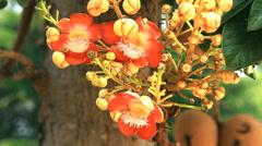 Couroupita guianensis Stock Footage