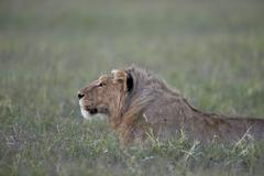 Young male lion (Panthera leo), Ngorongoro Crater, Tanzania, East Africa, Africa Kuvituskuvat