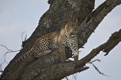 Leopard (Panthera pardus), Serengeti National Park, Tanzania, East Africa Kuvituskuvat