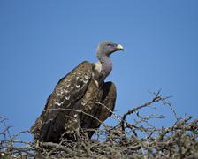 Ruppell's griffon vulture (Gyps rueppellii), Serengeti National Park, Tanzania Kuvituskuvat