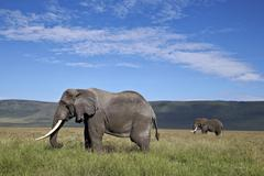 Two bull African elephant (Loxodonta africana), Ngorongoro Crater, Tanzania Stock Photos
