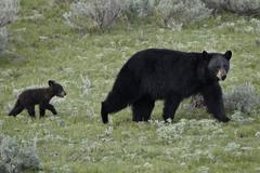 Black bears, United States Kuvituskuvat