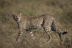 Cheetah (Acinonyx jubatus), Serengetin kansallispuisto, Tansania, Itä-Afrikassa Kuvituskuvat