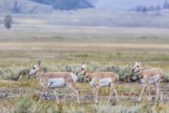 Pronghorn antelope, United States Stock Photos