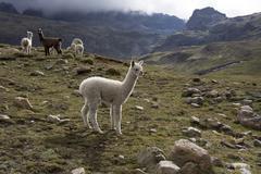 Llamas and alpacas, Andes, Peru, South America Stock Photos