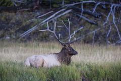 Bull elk along the Madison River, Yellowstone National Park, Wyoming, USA - stock photo